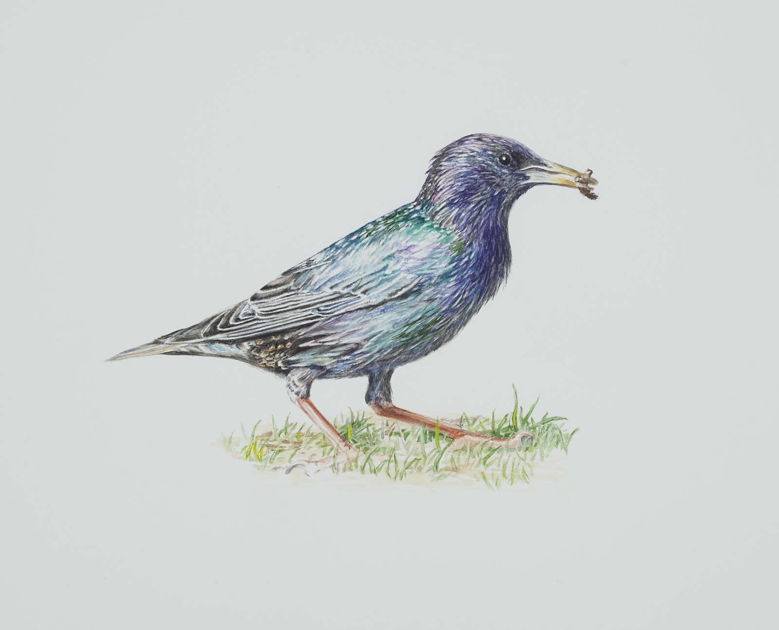 "Thorbjørn Sørensen, ""Starling"", 2013, water colour on paper, 19,5 x 18,5"